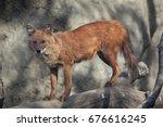 ussuri dhole  cuon alpinus... | Shutterstock . vector #676616245