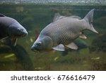 wild common carp  cyprinus... | Shutterstock . vector #676616479