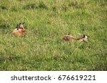 Young Antelopes Sleeps  Kenya