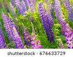lupinus  lupin  lupine field... | Shutterstock . vector #676633729