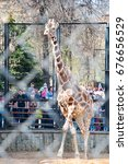 Small photo of Moscow, Russia- May 01: Giraffe in a cage in Moscow zoo on May 01, 2017. Moscow Zoo is the first zoo in Russia founded in 1864 by Russian Imperial Society of Acclimatization of animals and plants.