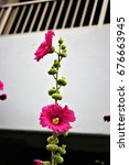 Small photo of hollyhock or Alcea rosea of japan
