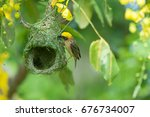 Baya Weaver Building The Nest