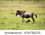 Wildebeest With A Baby In A...