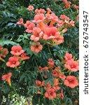 orange ivy  flower  campsis... | Shutterstock . vector #676743547