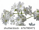 Small photo of lewisia flower in bloom in the garden