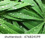 lot of lupine leaves in rainy... | Shutterstock . vector #676824199