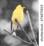 Small photo of American Goldfinch Male Bright Yellow Resting on a Twig Black and White