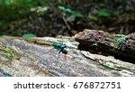 Small photo of Six-Spotted Tiger Beetle (Cicindela sexguttata)