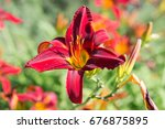 flowering daylily flowers ... | Shutterstock . vector #676875895