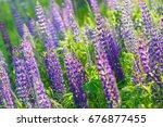 lupinus  lupin  lupine field... | Shutterstock . vector #676877455
