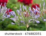 Lily Of The Nile  Agapanthus ...