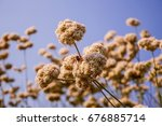 California Buckwheat Flower In...