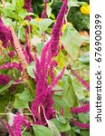 Small photo of Amaranthus, or amaranth with purple buds