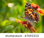 Cynthia Virginiensis Butterfly...