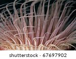 Tube-dwelling anemone, or cerianthids closeup of tentacles in the Indian Ocean. - stock photo