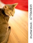 Small photo of Cat (Abyssinian) · Interior · Looking back