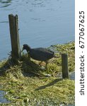 Small photo of Trezzo d'Adda (Mi), Italy, a coot builds his nest on the river Adda