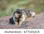 tarbagan marmot from kamchatka... | Shutterstock . vector #677101615