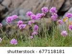 Sea Thrift  Armeria Maritima ...