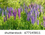 lupinus  lupin  lupine field... | Shutterstock . vector #677145811