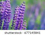 lupinus  lupin  lupine field... | Shutterstock . vector #677145841
