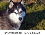 Small photo of Siberian Husky