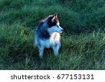 Small photo of Siberian Husky in long grass