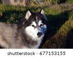 Small photo of Siberian Husky staring