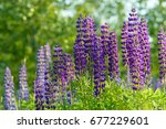 lupinus  lupin  lupine field... | Shutterstock . vector #677229601