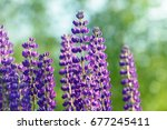 lupinus  lupin  lupine field... | Shutterstock . vector #677245411