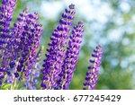 lupinus  lupin  lupine field... | Shutterstock . vector #677245429