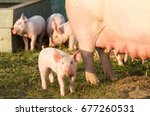 big sow and cute young pig in... | Shutterstock . vector #677260531