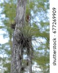 Small photo of Air plant on the tree
