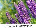 lupinus  lupin  lupine field... | Shutterstock . vector #677279599