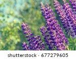 lupinus  lupin  lupine field... | Shutterstock . vector #677279605