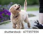 Stock photo labrador poodle puppy looking at owner 677357554