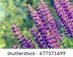 lupinus  lupin  lupine field... | Shutterstock . vector #677371699