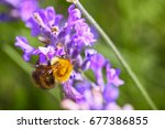 bee pollinating lavender... | Shutterstock . vector #677386855