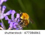 bee pollinating lavender... | Shutterstock . vector #677386861