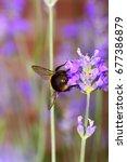 bee pollinating lavender... | Shutterstock . vector #677386879