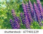 lupinus  lupin  lupine field... | Shutterstock . vector #677401129