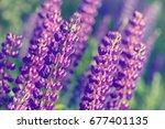 lupinus  lupin  lupine field... | Shutterstock . vector #677401135