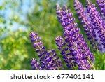 lupinus  lupin  lupine field... | Shutterstock . vector #677401141