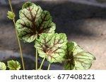 Small photo of Cultivar American alumroot (Heuchera americana 'Green Spice') in the summer garden