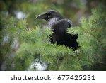 The Common Raven  Corvus Corax  ...