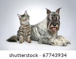 Stock photo dog of breed mittel schnauzer with a small kitten on a grey background 67743934