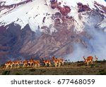 a herd of lamas on the huge...   Shutterstock . vector #677468059