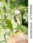Small photo of Tomato plant infected tomato spotted wilt virus also known as TSWV on farm