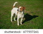 jack russell terrier playing in ... | Shutterstock . vector #677557261